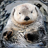 Loutre Marine