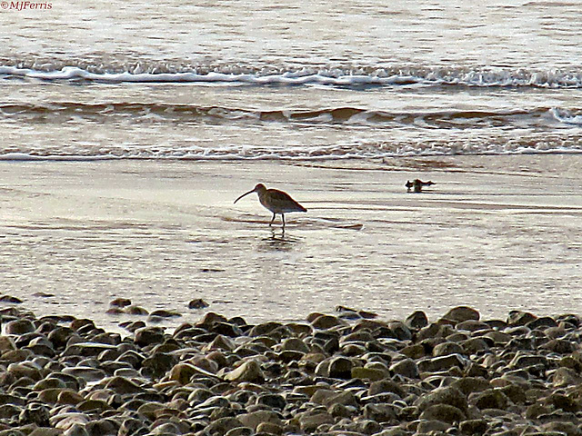 02 curlew