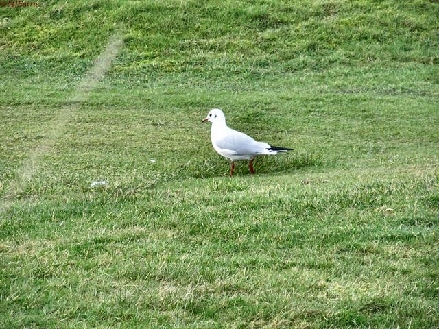 09 black headed gull