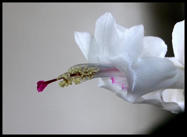 Schlumbergera blanc