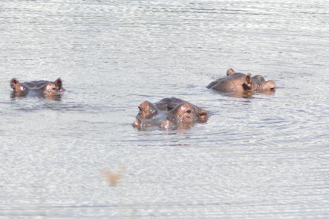 Tuta familio. Nuntempe en Akangera troviĝas la plej granda grupo de hipopotamoj en Afriko