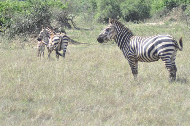 Zebra familio