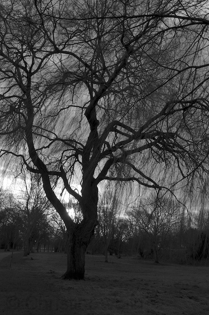 tree in b and w