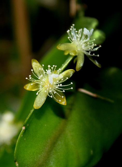 Rhipsalis pachyptera -floraison