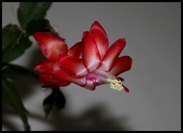 Schlumbergera rouge et blanc