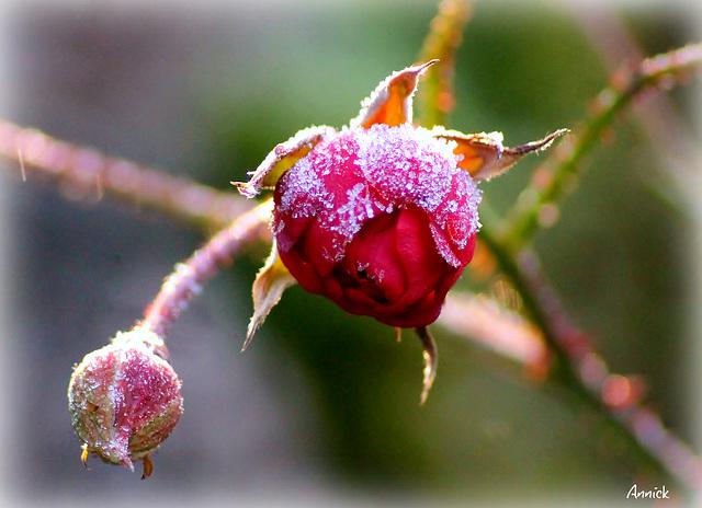 givre sur un bouton de rose de l'hiver