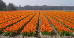 Nederland - Lisse, Duin- en Bollenstreek