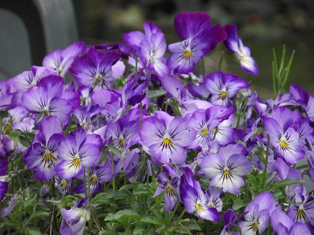 Some purple pansies