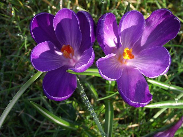 Purple crocus'