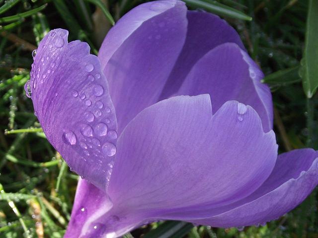 Solitary purple crocus