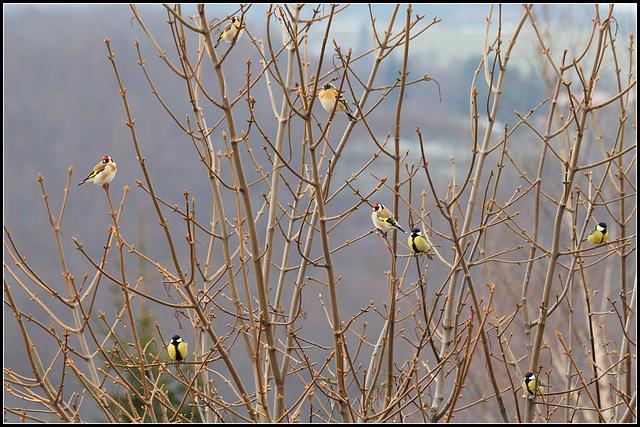 Arbre aux oiseaux- Erable sycomore
