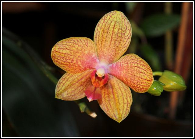 Phalaenopsis hybride 'Coral Sea'