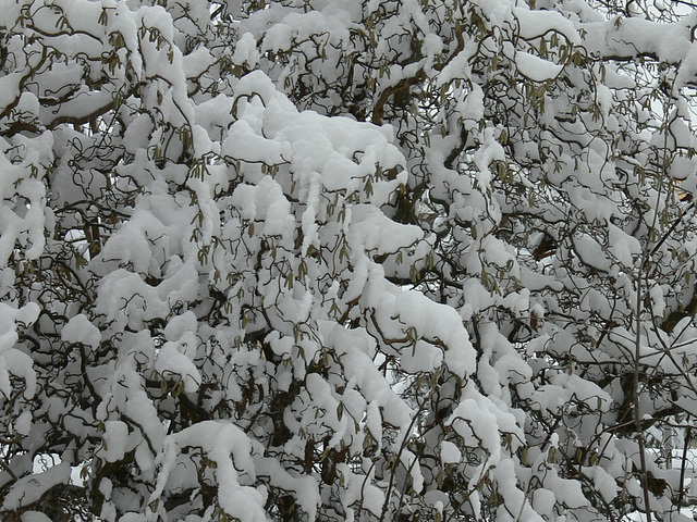 verschneite Korkenzieherhasel