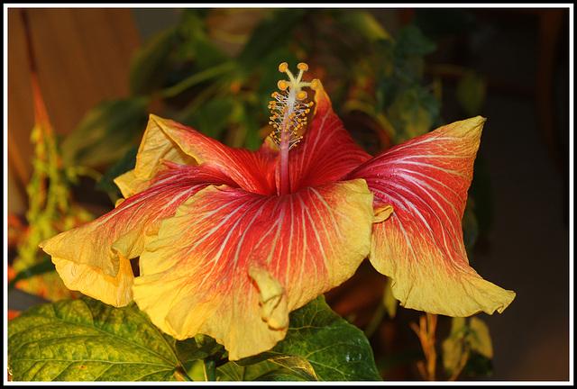 Hibiscus RS hybride 'Gerald Derr'