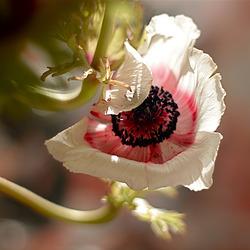 Anémone blanche