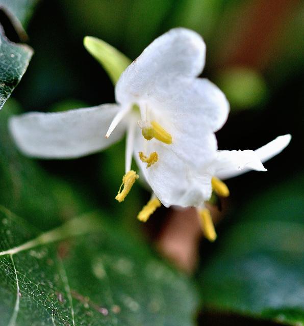 Lonicera fragantissima