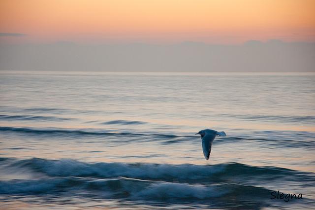 Gavina voladora a la sortida del sol