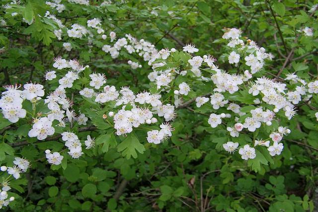 Fleurs du printemps : Aubépine