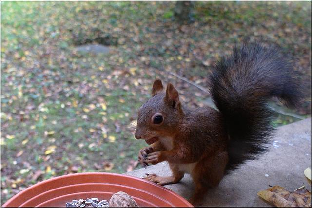 Ecureuil mâle sur le rebord de la fenêtre à St Chamassy