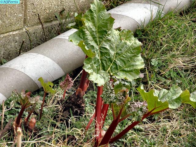 01 rhubarb