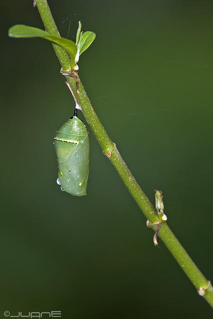 Crisálida de mariposa monarca,