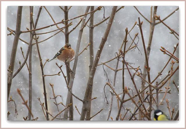 Pinson des arbres mâle , dans la neige