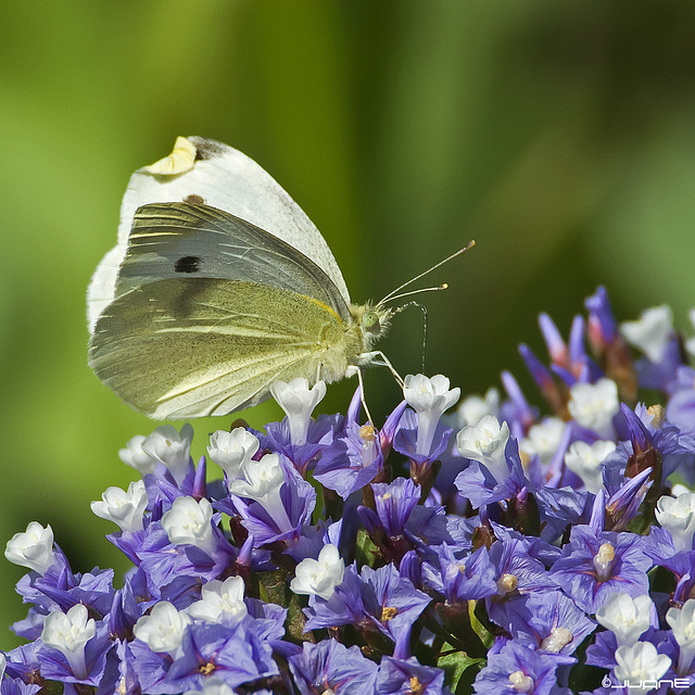 Pieris rapae. ♀