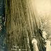 Cedar Tree Near Monroe, Washington