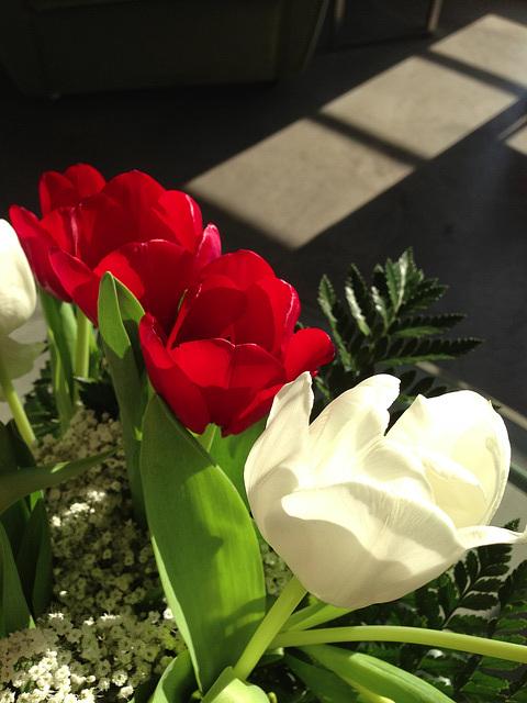 tulip weather