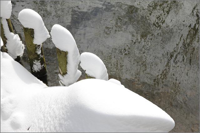 Saurien des neiges