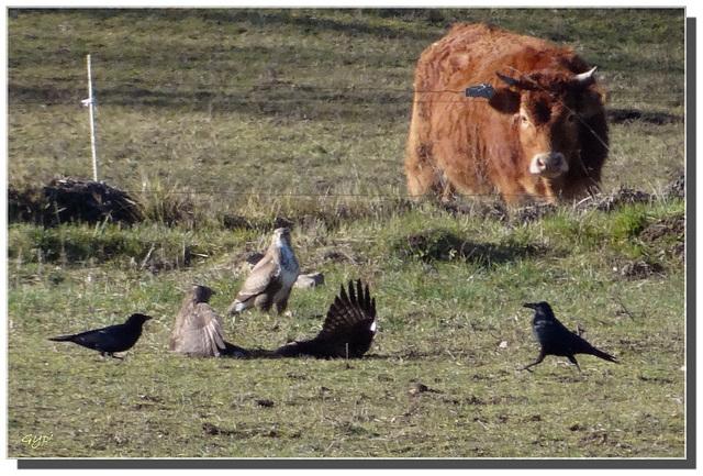La vache, les trois buses et les deux corbeaux ...