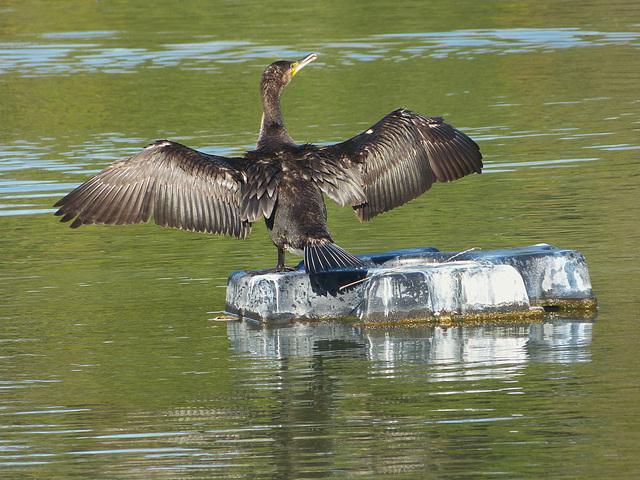 ...cormoran...