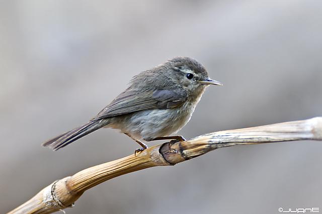 Mosquitero canario - (Phylloscopus canariensis)