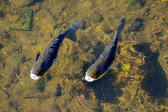 Quimper 2014 – Fish trying some air