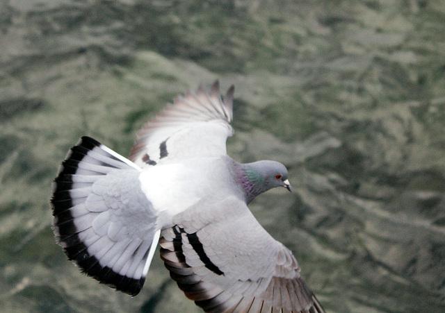 Taube über dem Bodensee