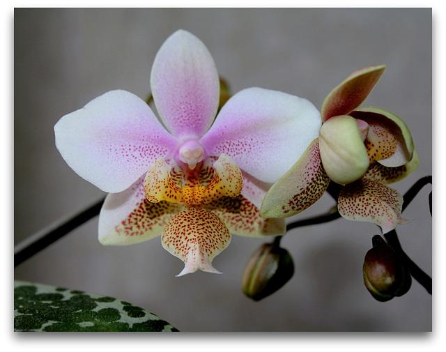 Phalaenopsis wiganiae