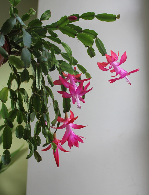 Phalaenopsis russeliana