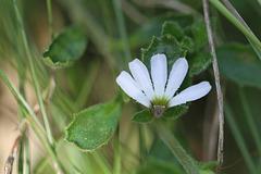 White Fan FlowerIMG 7807