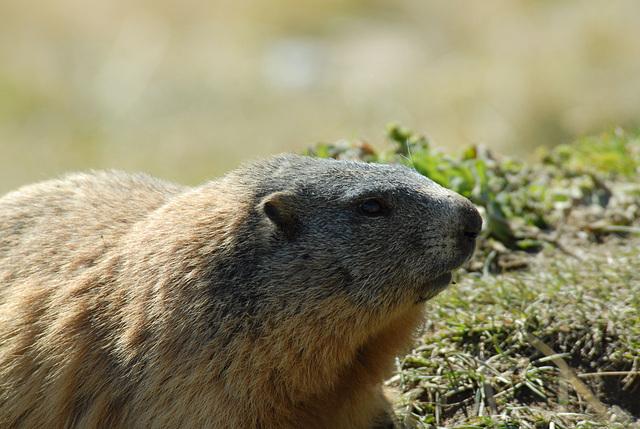 Rencontre d'une marmotte...