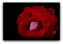 Rose rouge à lèvres
