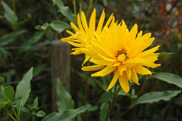 Flava floro