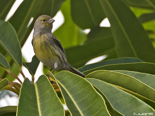 Canario silvestre, Serinus canaria(♀)