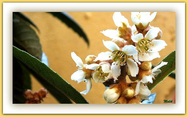 Fleur de Neflier.