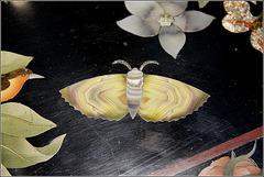 Papillon 1