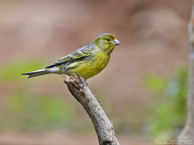 Canario silvestre, Serinus canaria(♂)