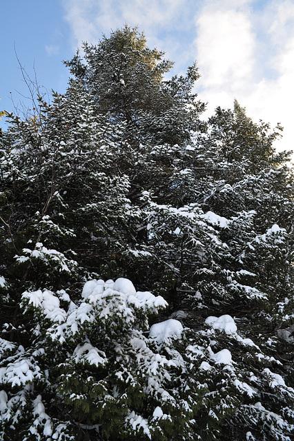 Magesté hivernale