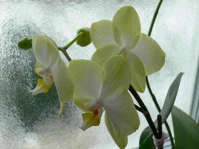 Winterorchideen