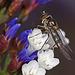 Meliscaeva auricollis ♀
