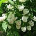 Fleurs blanches : Deutzia