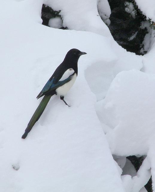 Pie dans la neige